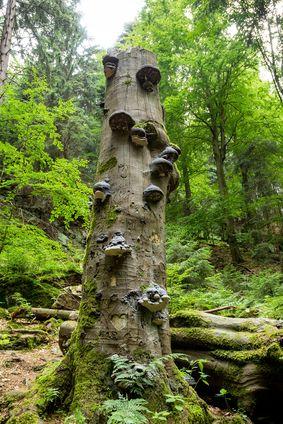 Polyporus cinska medicina blanka dobřichovska  lecivé houby  medicialni houby